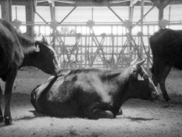 japanese_cattle_3_nobuhiro_shimura.jpg