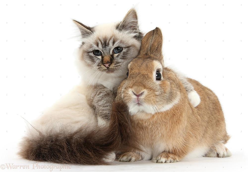 30875-Birman-cat-and-rabbit-white-background.jpg