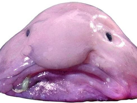 The Blobfish (aka The World's Ugliest Animal) Psychrolutes Marcidus