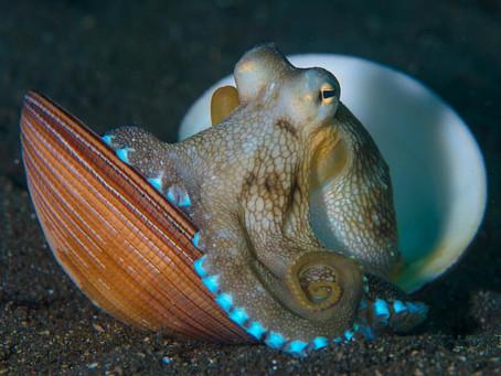 The Coconut Octopus- Amphioctopus Marginatus