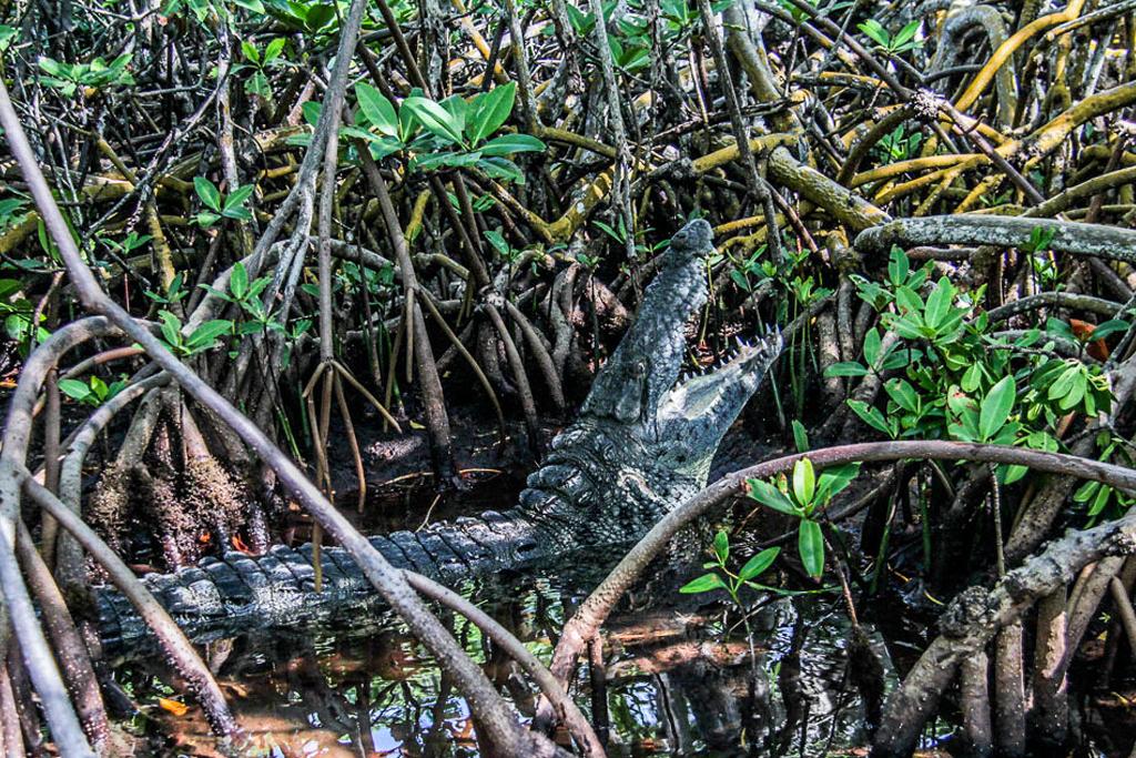 Crocodile Mangrove