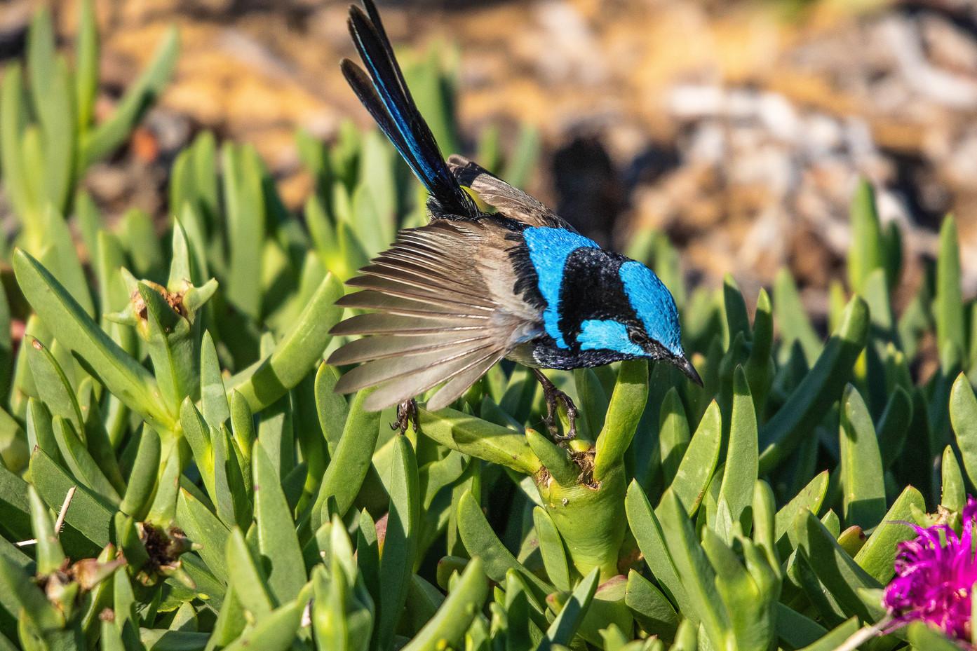 Bird Superb Fairy Wren-1.jpg