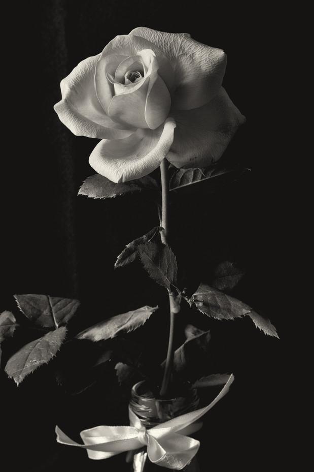 Flower Pink Rose-1.jpg