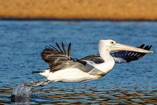 Bird Australian Pelican-2.jpg