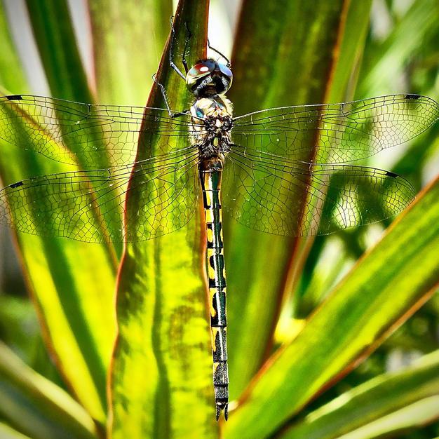 Vince_Lindsay_dragonfly