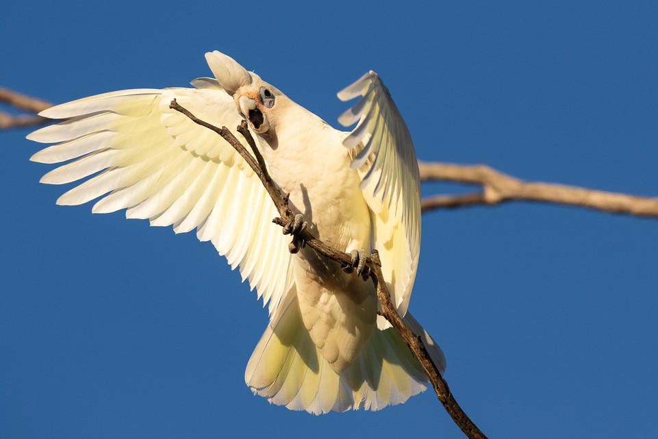 Bird Long Billed Corella-1.jpg