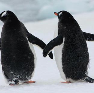 Bernie_Press_penguins