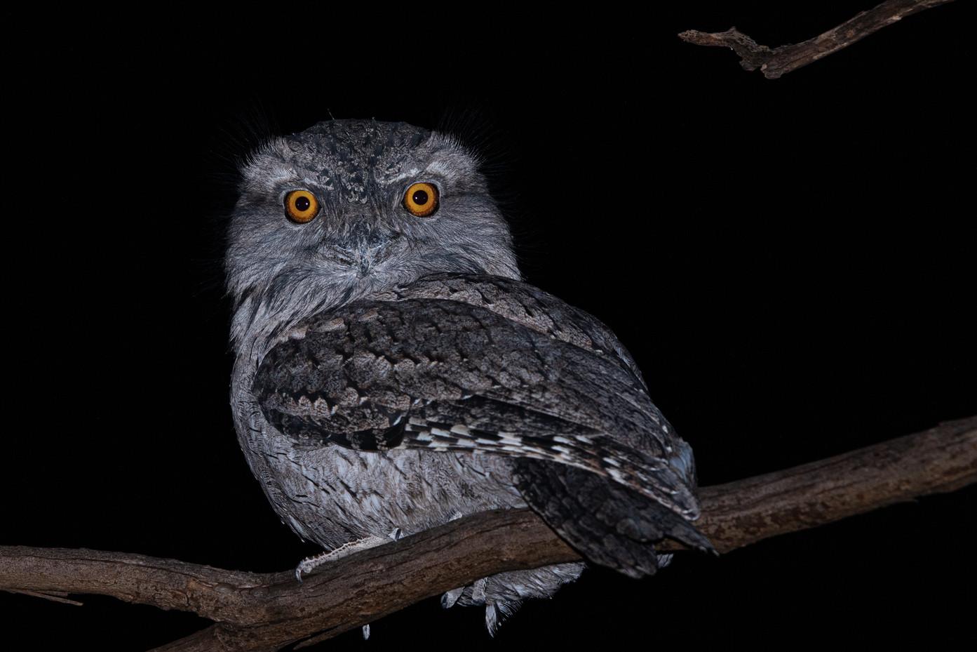 Bird Tawny Frogmouth-1.jpg