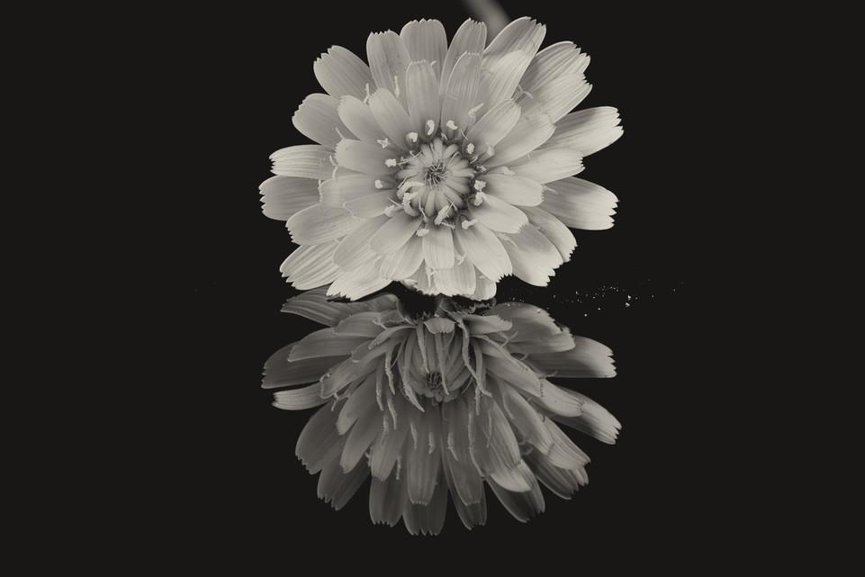 Flower Dandelion-1.jpg