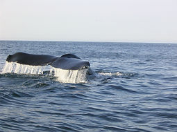 Humpback Whale off Quirpon Island