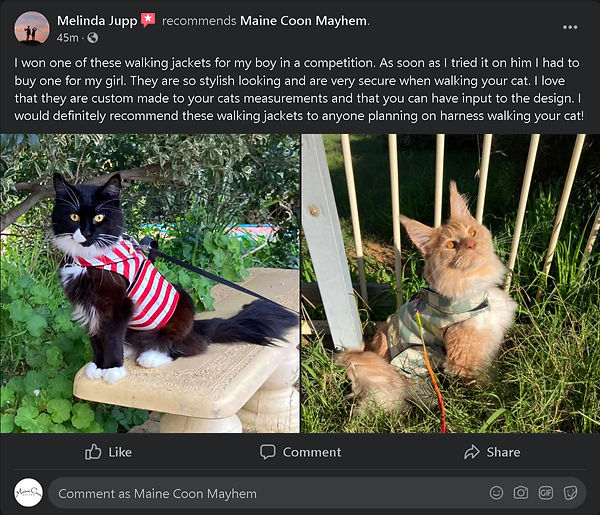 Red Candy Stripe Crusader maine coon har