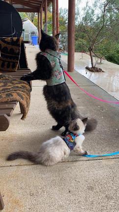Kitten walking jackets