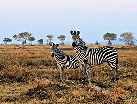 zebras-e1459781128673.jpg