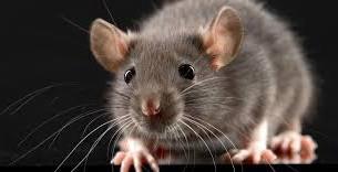 La lutte contre les rats dans les Alpes Maritimes