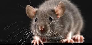 Traitement contre les rats et souris à Grasse