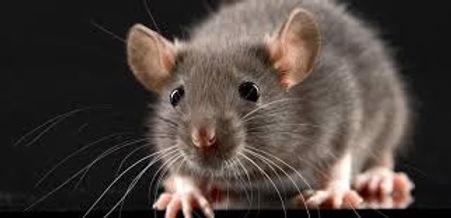 rats-souris.jpeg