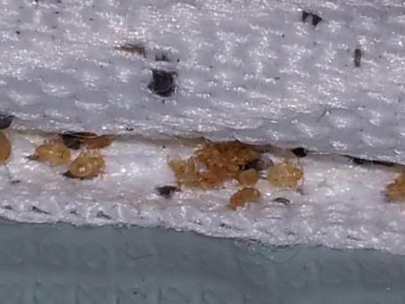 Montpellier traitement vapeur contre les punaises de lit.