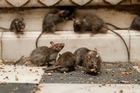 Rats à Grasse