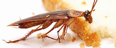 Cafards/blattes à Antibes