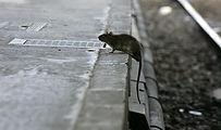 Rats nice.jpg