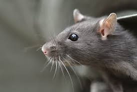 Rats et souris rp services