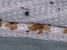 punaises-de-lit-juveniles-nymphes.jpg