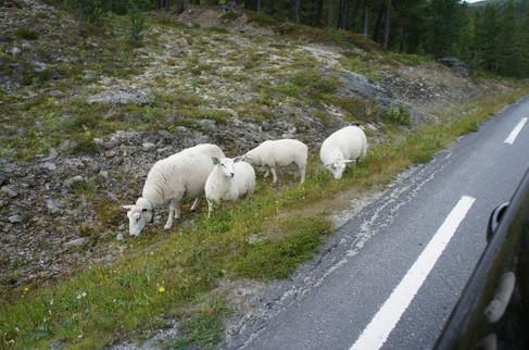 Roadside sheep