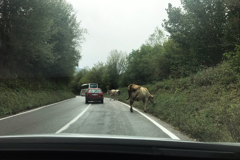 Cows on the road in southern Bosnia