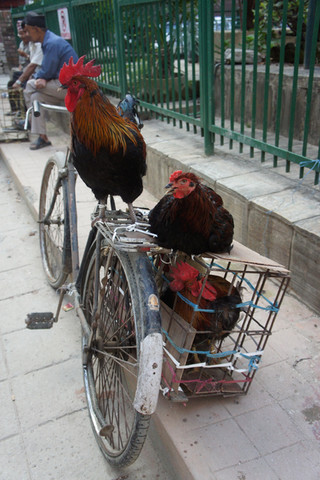 Roosters chilling on a bike