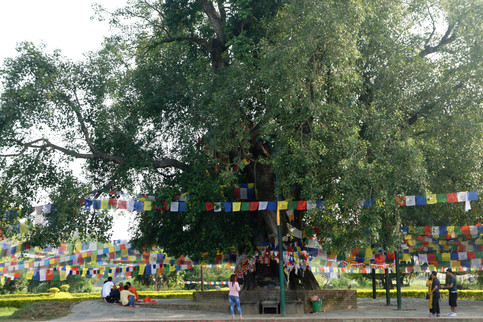 The tree where Siddhartha Gautama (Buddha) is said to have reached enlightenment