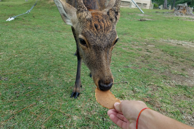 Some of the deer were no longer interested in cookies, but this one was hungry.