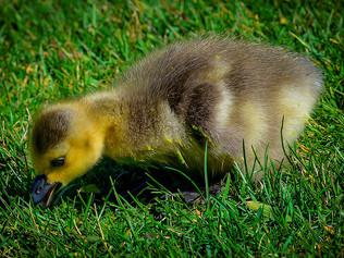 Monday Musings...Duck, Duck, Goose!