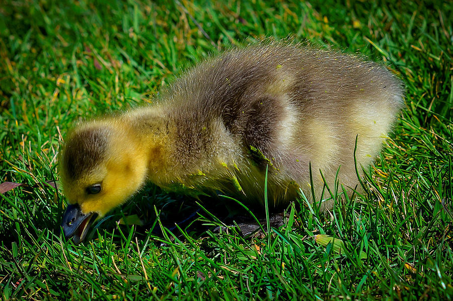 http://fineartamerica.com/featured/yellow-baby-duck-eating-grass-lynn-langmade.html