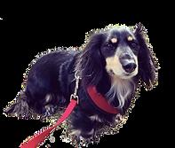 Jack the dachshund