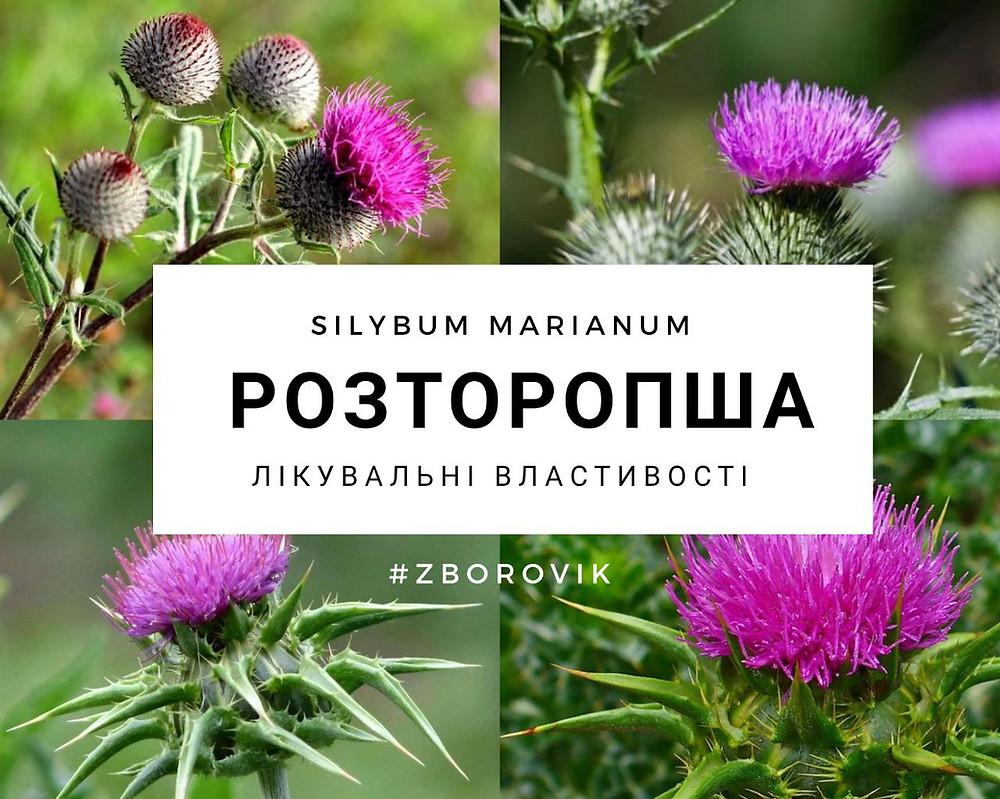 Розторопша - www.zborovik.com.ua