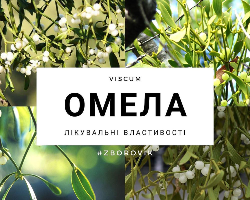 Омела - zborovik.com.ua