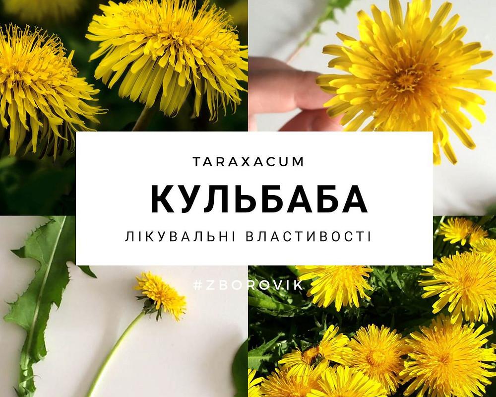 Кульбаба лікувальні властивості - zborovik.com.ua
