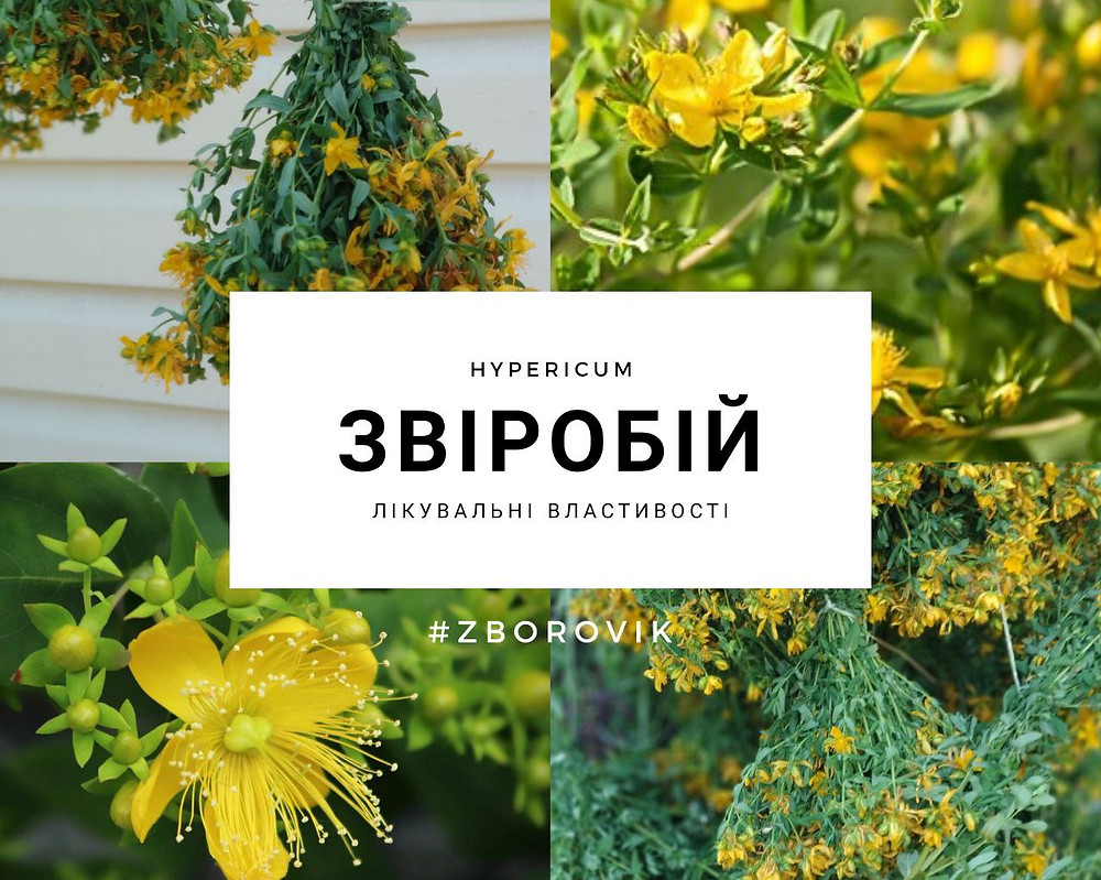Звіробій - zborovik.com.ua
