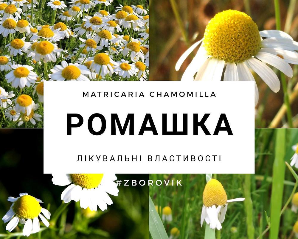 Ромашка лікарська - zborovik.com.ua