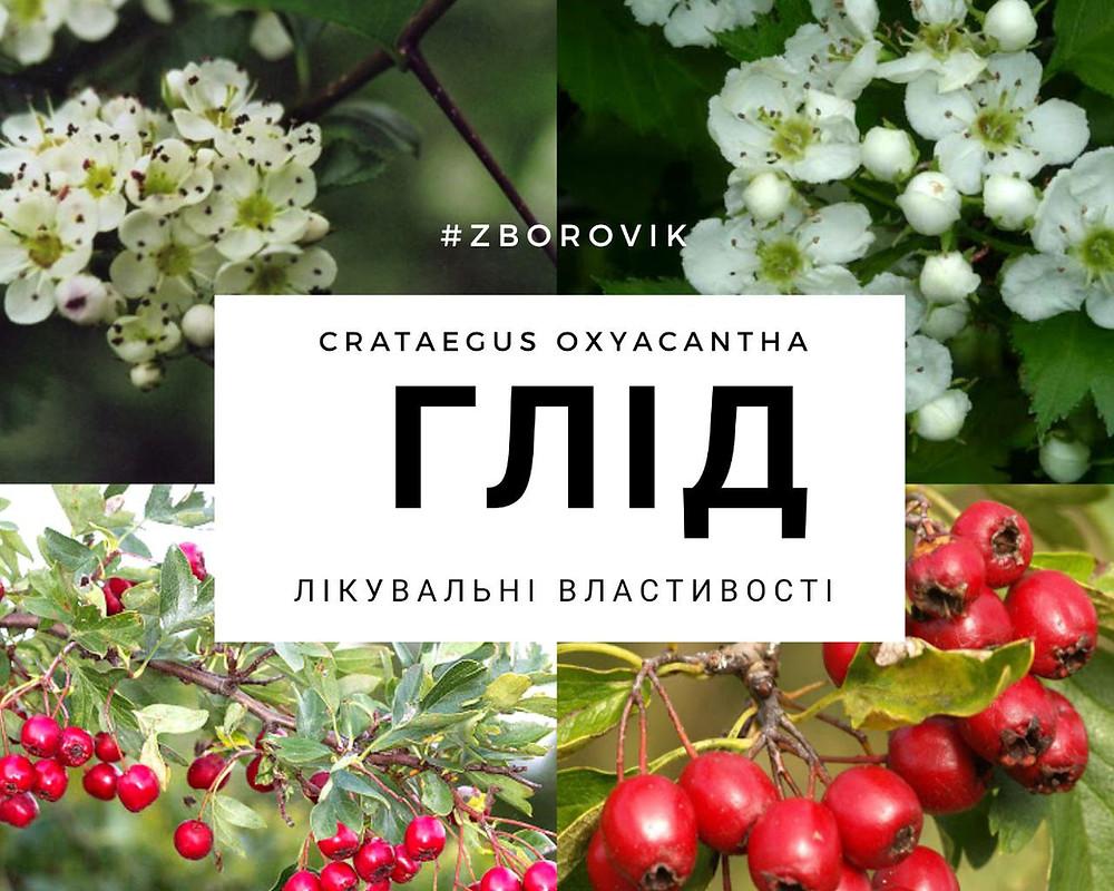 Глід - zborovik.com.ua
