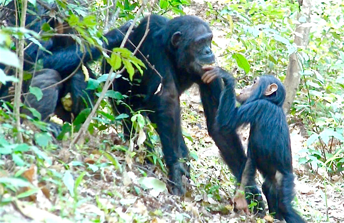 Young chimp taking banana from mother's mouth. Photo by John Crocker, 2009.