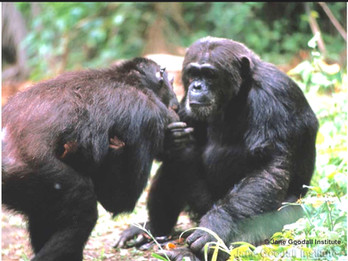 Chimp mother with infant, being reassured through touch by adult male. Photo copyright © The Jane Goodall Institute / by Hugo van Lawick, 1965.