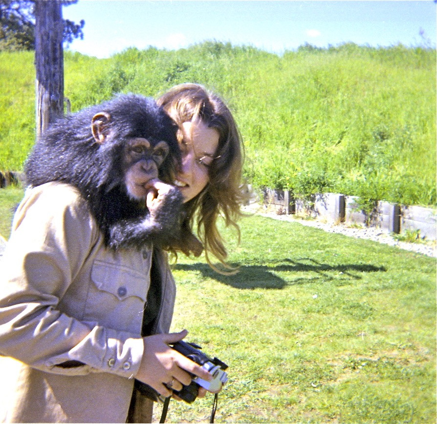 Rescued chimp Babu riding on the shoulders of Stanford student Lynn Johnson on outing near the University. Photo by John Crocker, 1973.