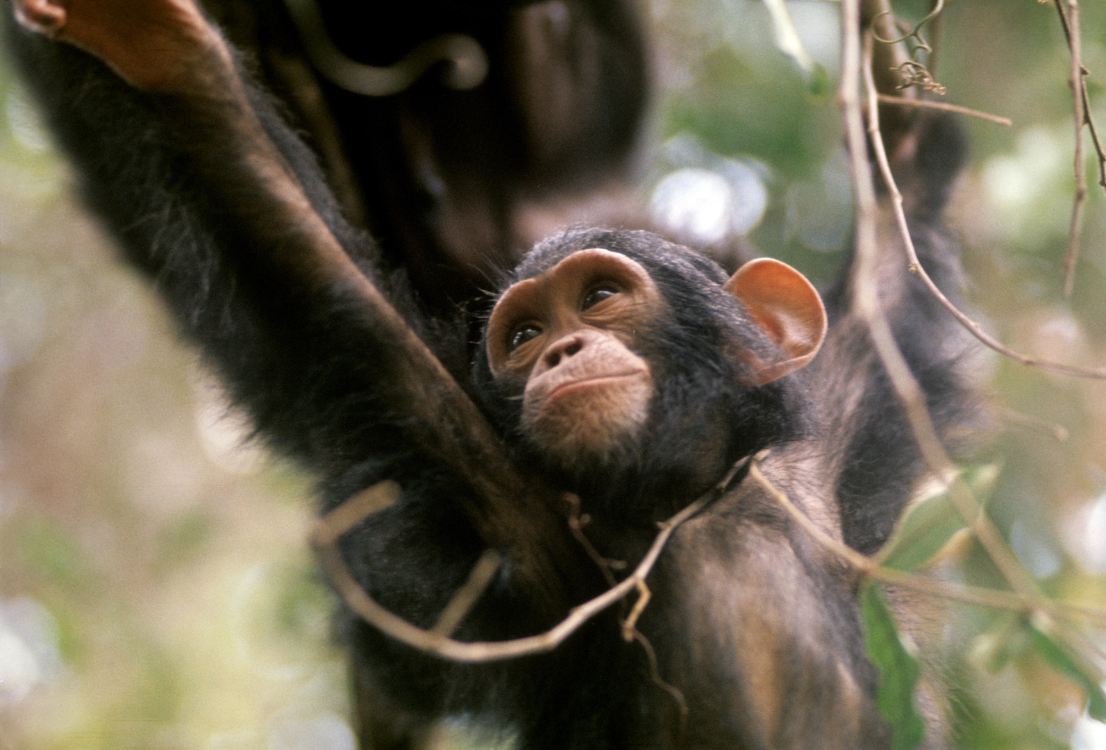 Young chimp swinging through the trees at Gombe. Photo by Grant Heidrich, 1974