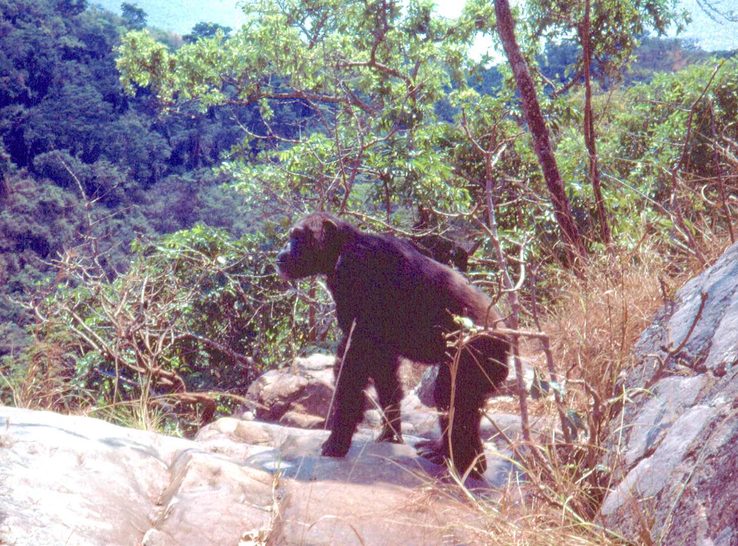 Adult male chimp patrolling from vantage point high above the valley. Photo by Curt Busse, 1974.