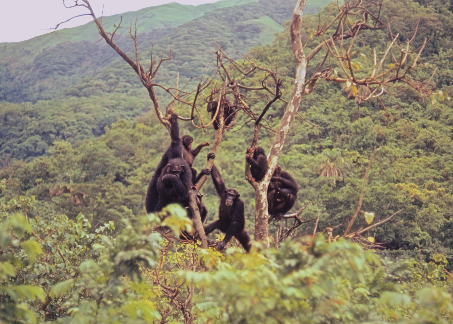 A gathering of chimps socializing in a tree and surveying the valley. Photo by John Crocker, 1973.