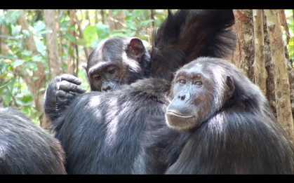 The first chimps Tommy and I suddenly saw on the trail, grooming, on my return trip to Gombe. Photo by John Crocker, 2009.