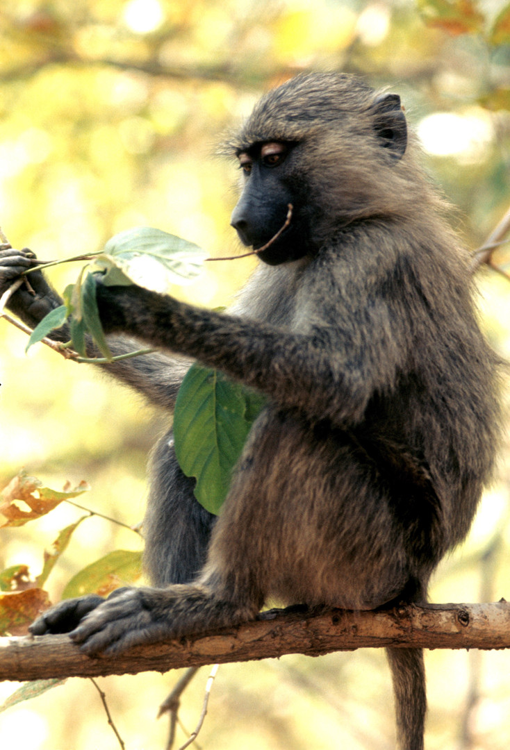Young baboon examining leaves in a tree at Gombe. Photo by Grant Heidrich, 1974.