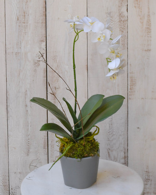 (Single) Small Bloom Orchid Plant ~ $35