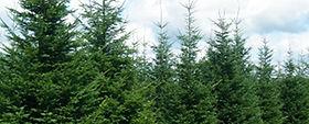 sapins-plantation-350.jpg